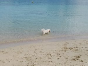 Taco the dog in the water at Pretty Bay